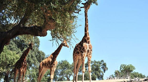 Badoca Safari Park e Hotel 3* - 1 ou 2 noites no Hotel Rural Monte da Leziria 3* com Entradas no Parque!